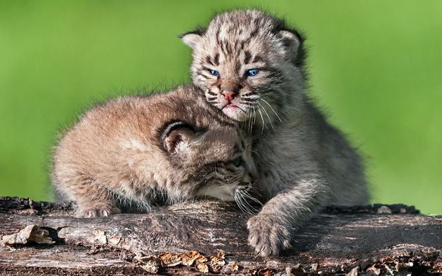 Two bobcat kittens are resting on a log.