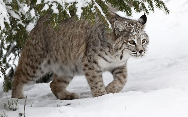 An adult bobcat is coming out from the snowy forest.