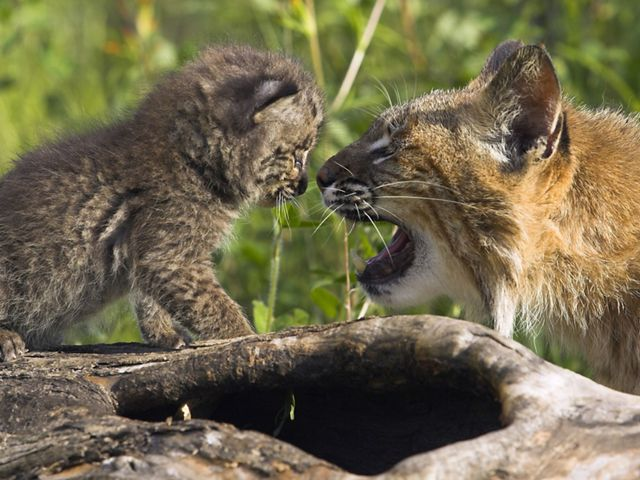 A bobcat kitten is looking at their mother.