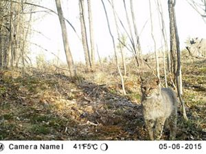 A bobcat caught on a trail camera in Hancock, New Hampshire