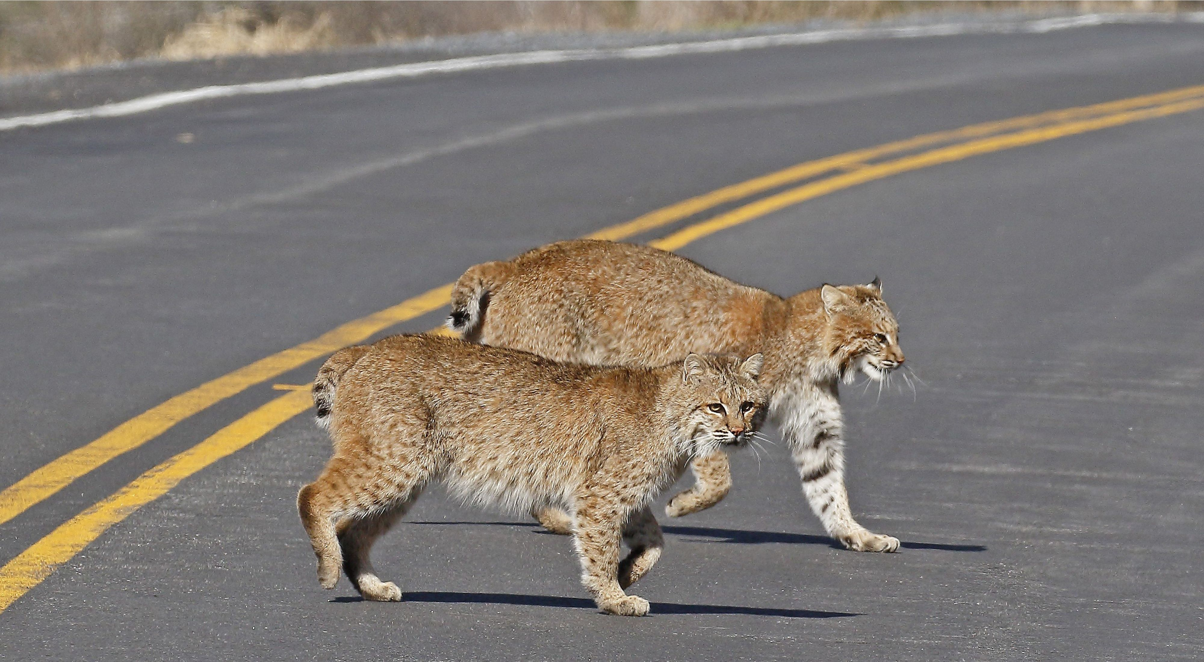 Two bobcats crossing a road with one looking at the camera.
