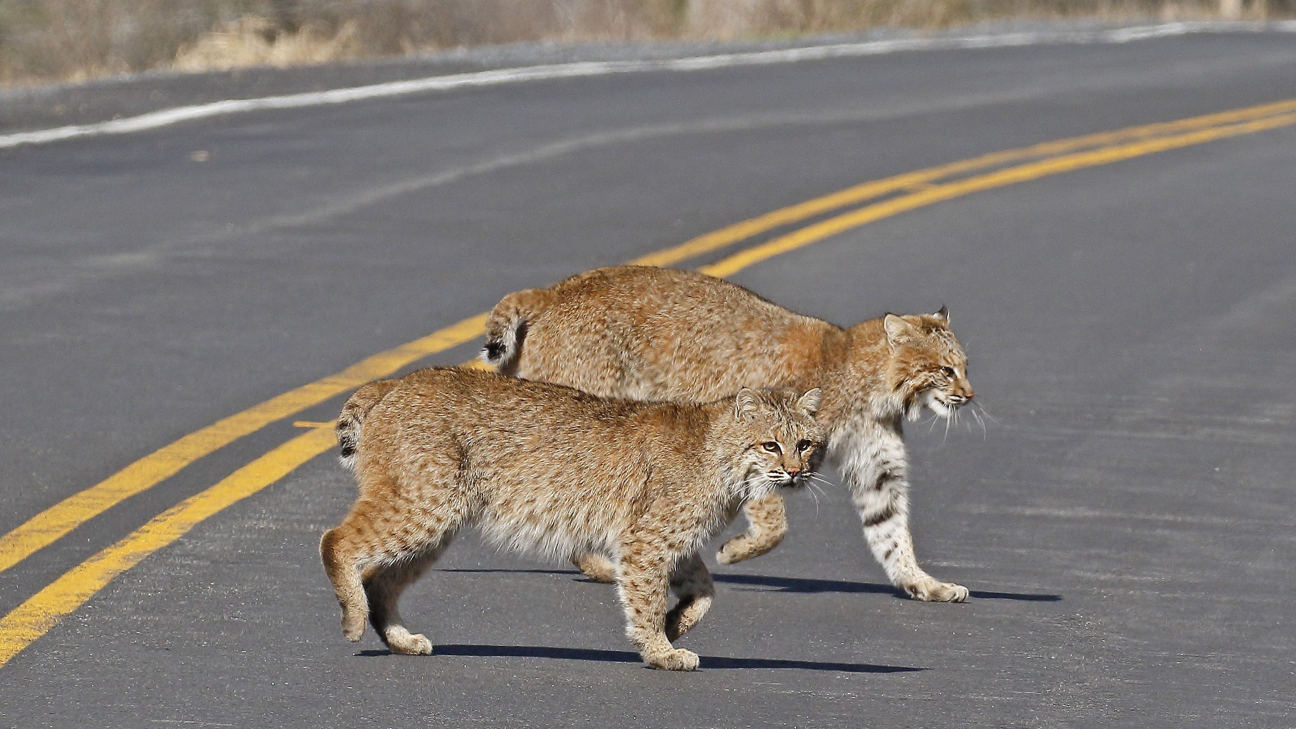 two bobcats crossing a roadway