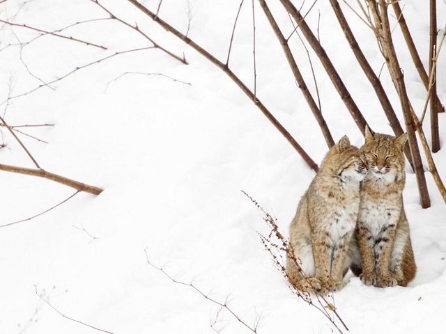 Two nuzzling bobcats in snow.