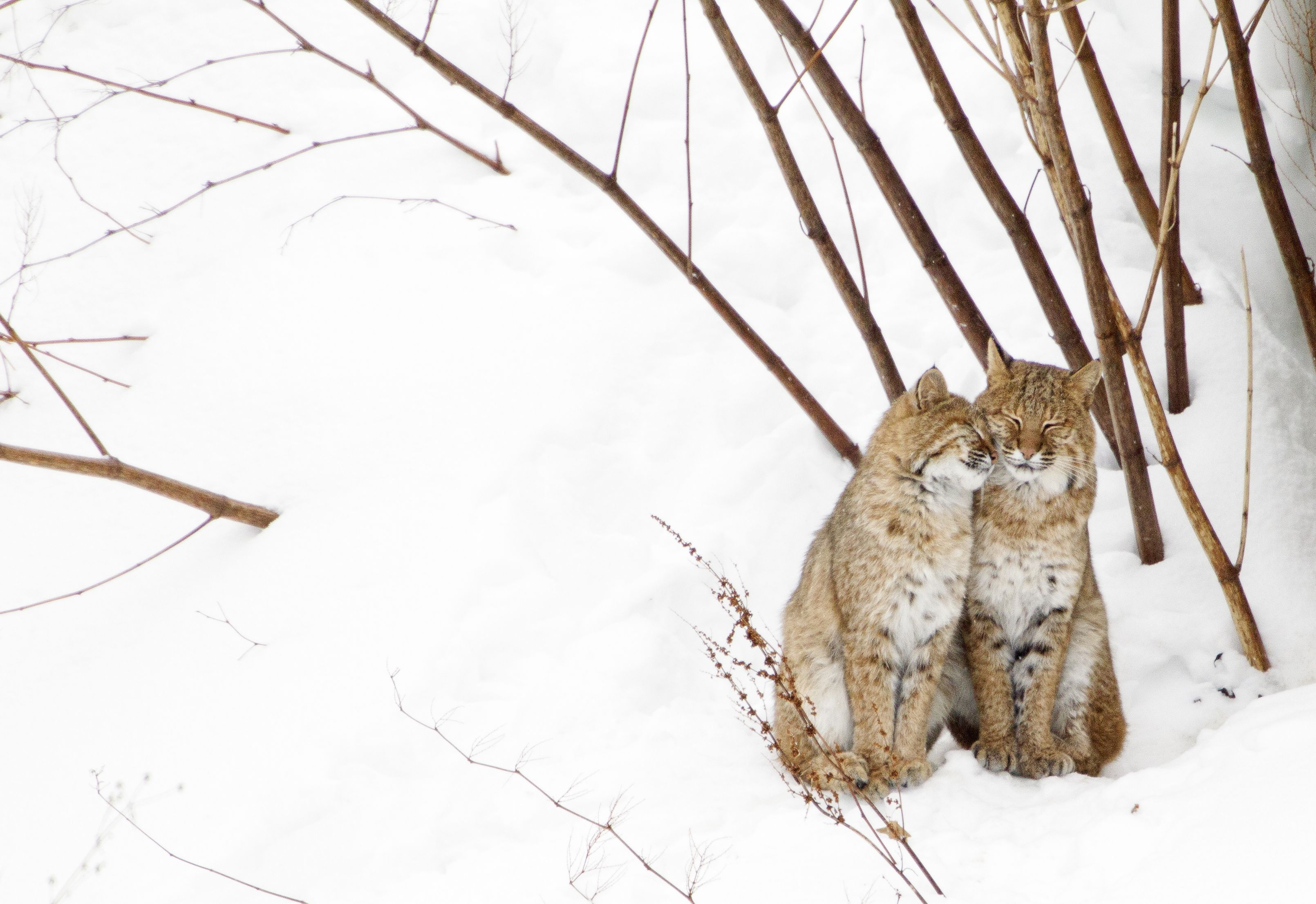 two bobcats nuzzling in snow