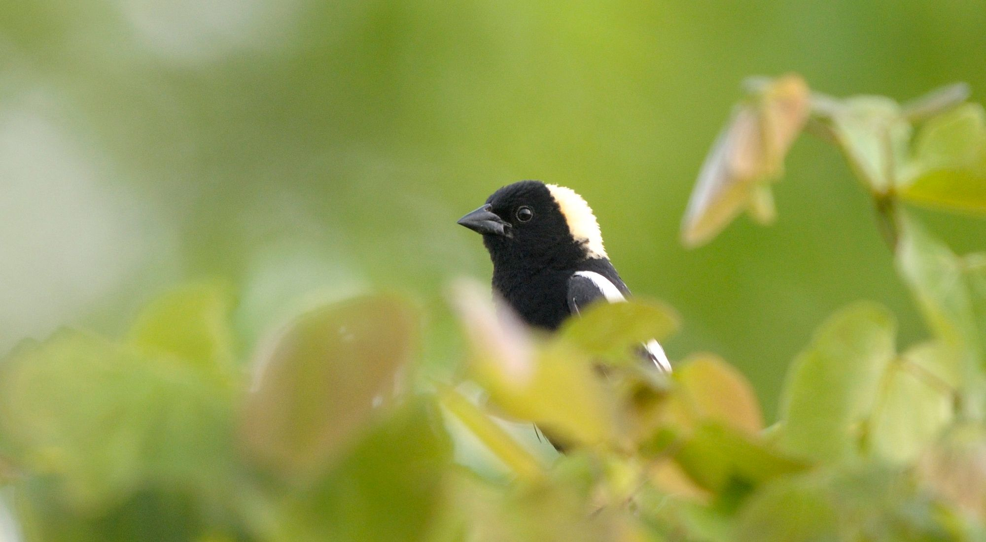 Close-up of a small bird with a black head and beak and a straw-colored patch on back of head that is mostly concealed by vegetation in the foreground.