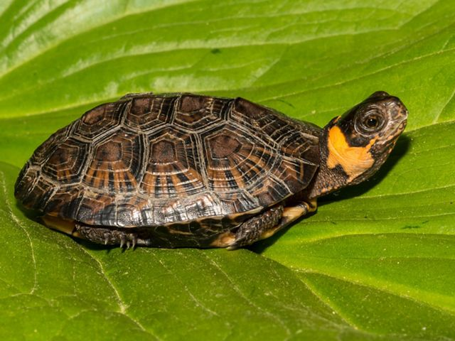 A small bog turtle is sitting on a bright green, large leaf.