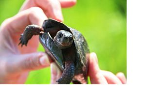 Two hands hold a small turtle.