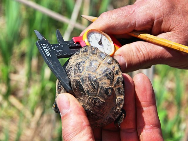 One hand holds a small turtle while the other measures.