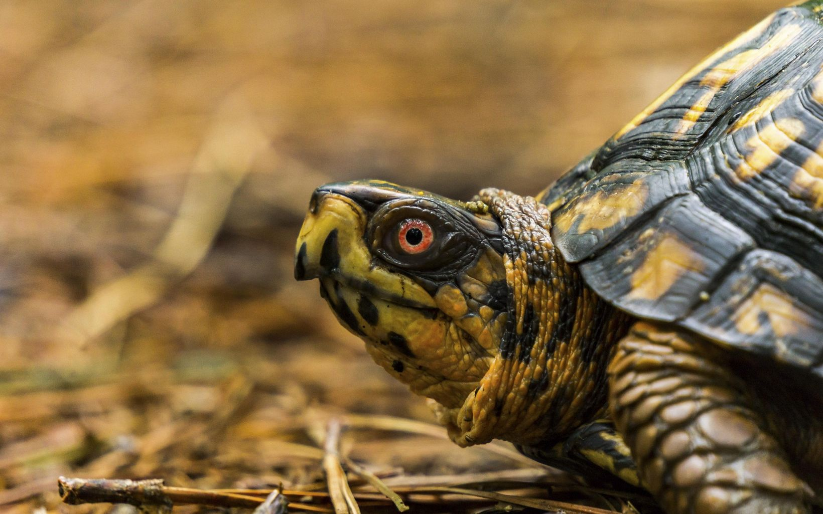 Closeup of the head of a box turtle.