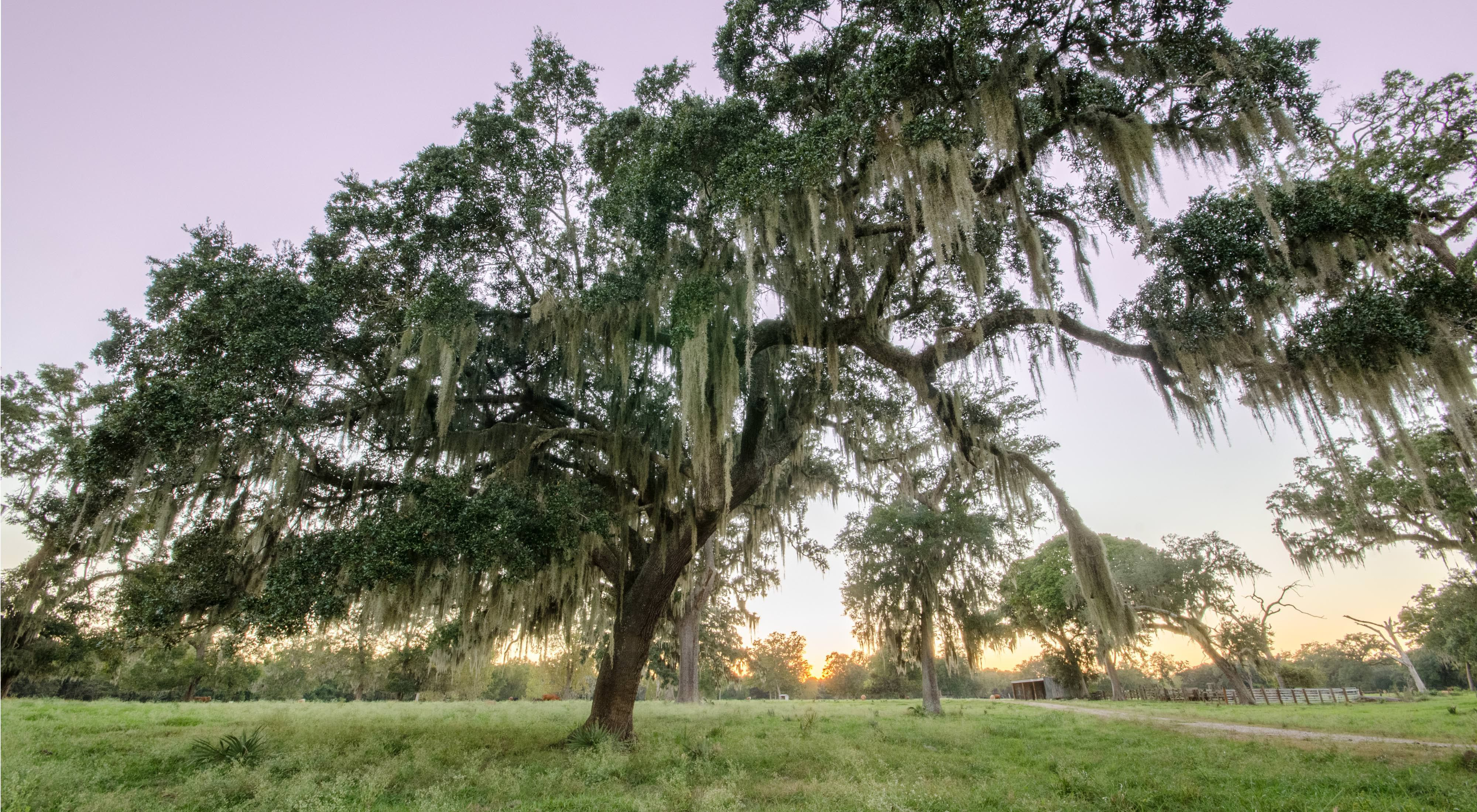 Sun sets behind a live oak tree at Brazos Woods Preserve in Texas.