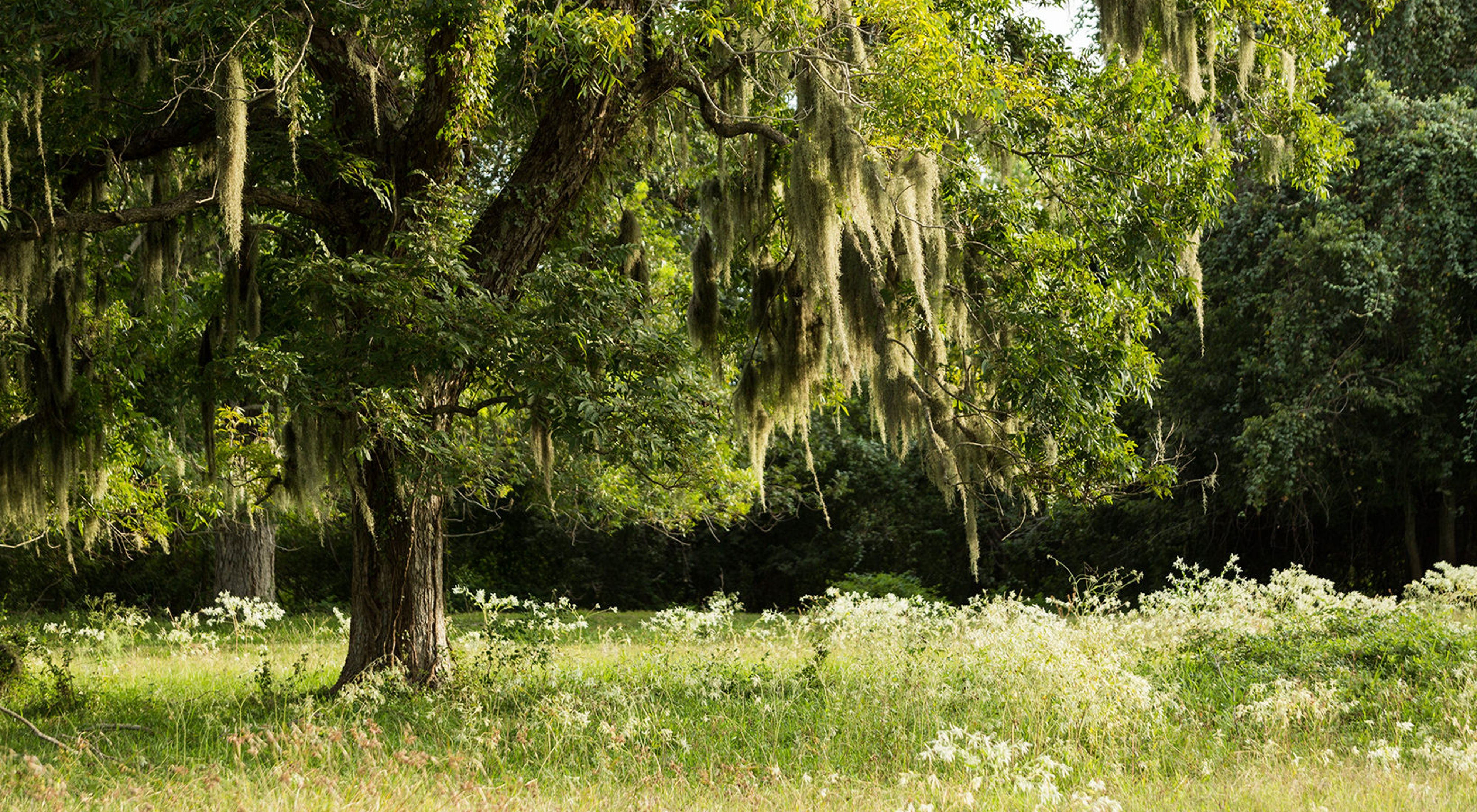 green-leaved live oak tree stands in meadow with Spanish moss hanging from its branches