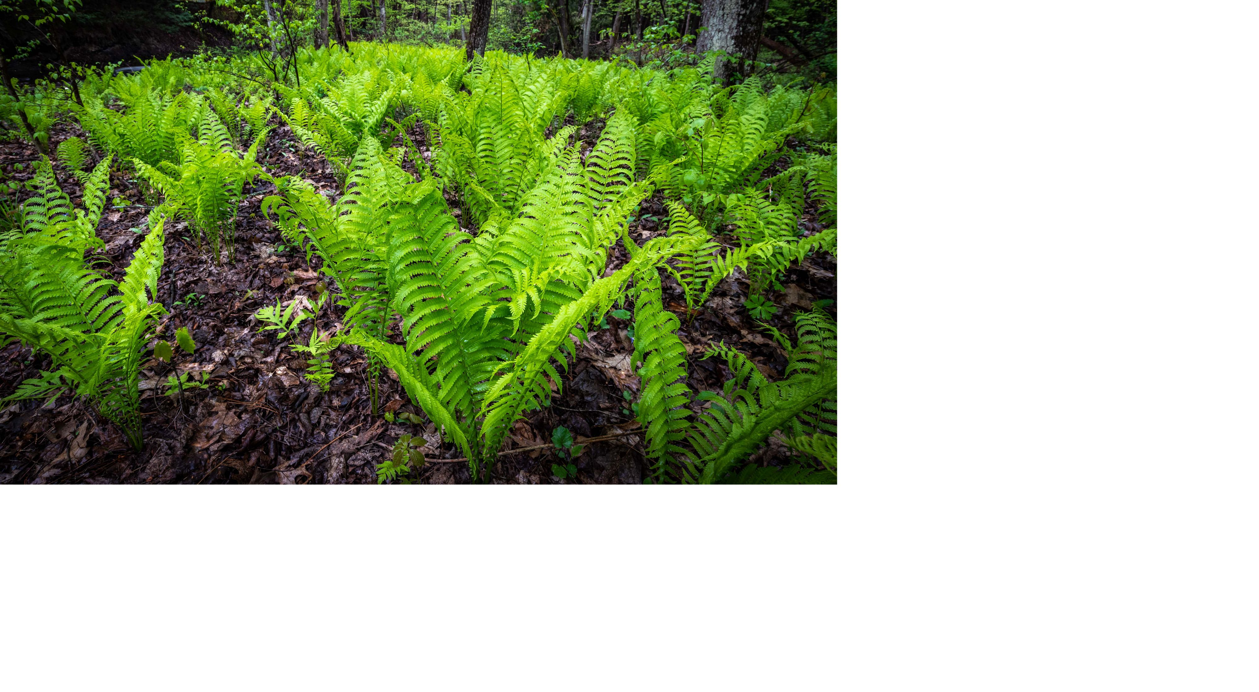Ferns at Lisha Kill