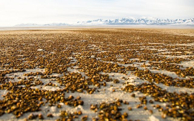 Clusters of brown shrimp cysts scatter across white sands.