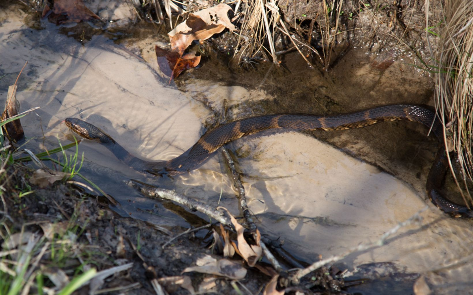 This slithering serpent glides between the dense, wetlands grasses and sandy creek beds.