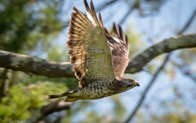 A hawk flying with trees in the background.