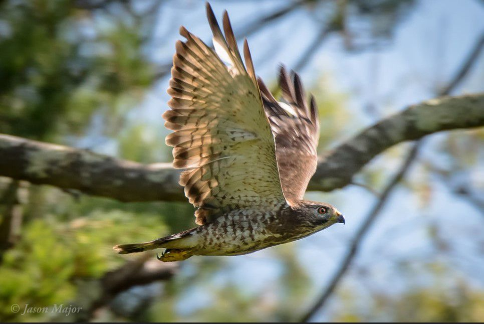Broad-winged hawk in a forest.