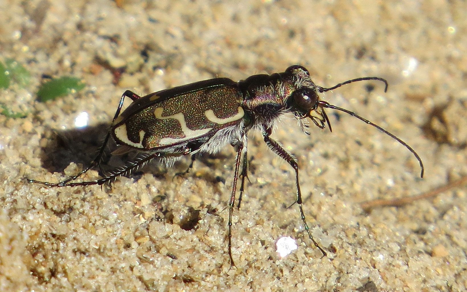 A brown, slightly iridescent beetle.