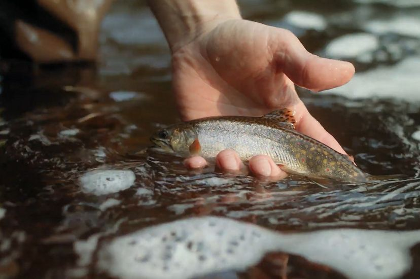 Hands holding a brook trout in the water.
