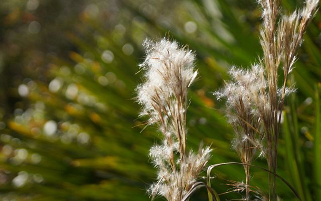 Tall brown grasses are topped by fuzzy white feathery tufts. A plant with long green spiky leaves is blurred in the background.