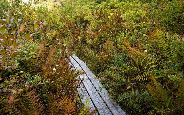 Lush foliage of ferns and grasses with bronze-tinged fall foliage surrounds a wooden boardwalk.