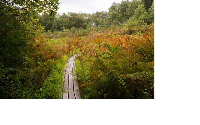 Lush knee-high foliage of golds, browns and muted reds line a wooden boardwalk.