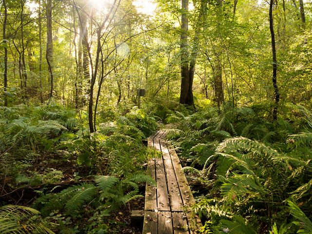 Ferns cover the forest floor of Brown's Lake Bog along the board walk as the sun shines through the trees.