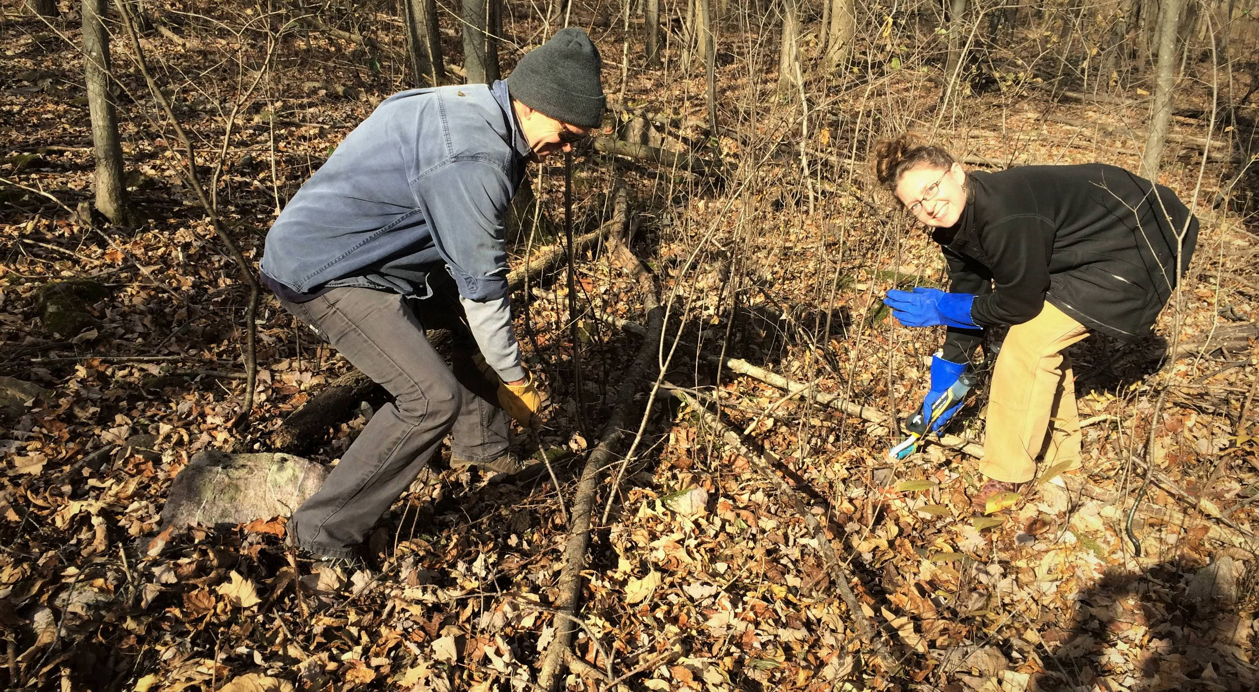 Two participants help remove buckthorn in a forest in late fall.