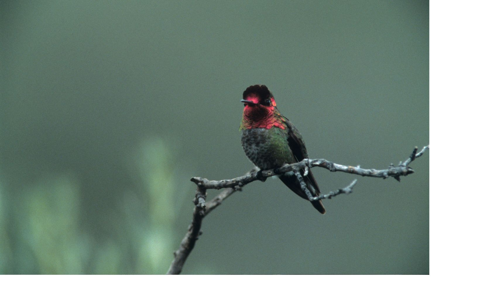 A male hummingbird perched on a branch in Proctor Valley, San Diego County, California
