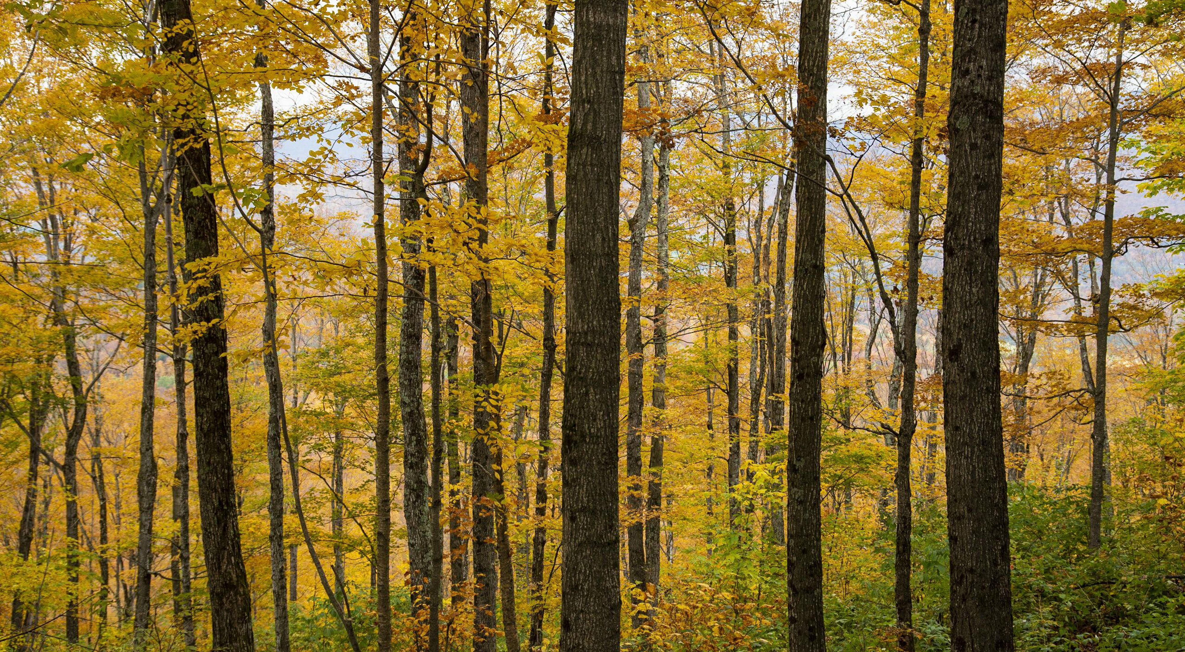 Photo of yellow fall foliage along Burnt Mountain in northern Vermont.
