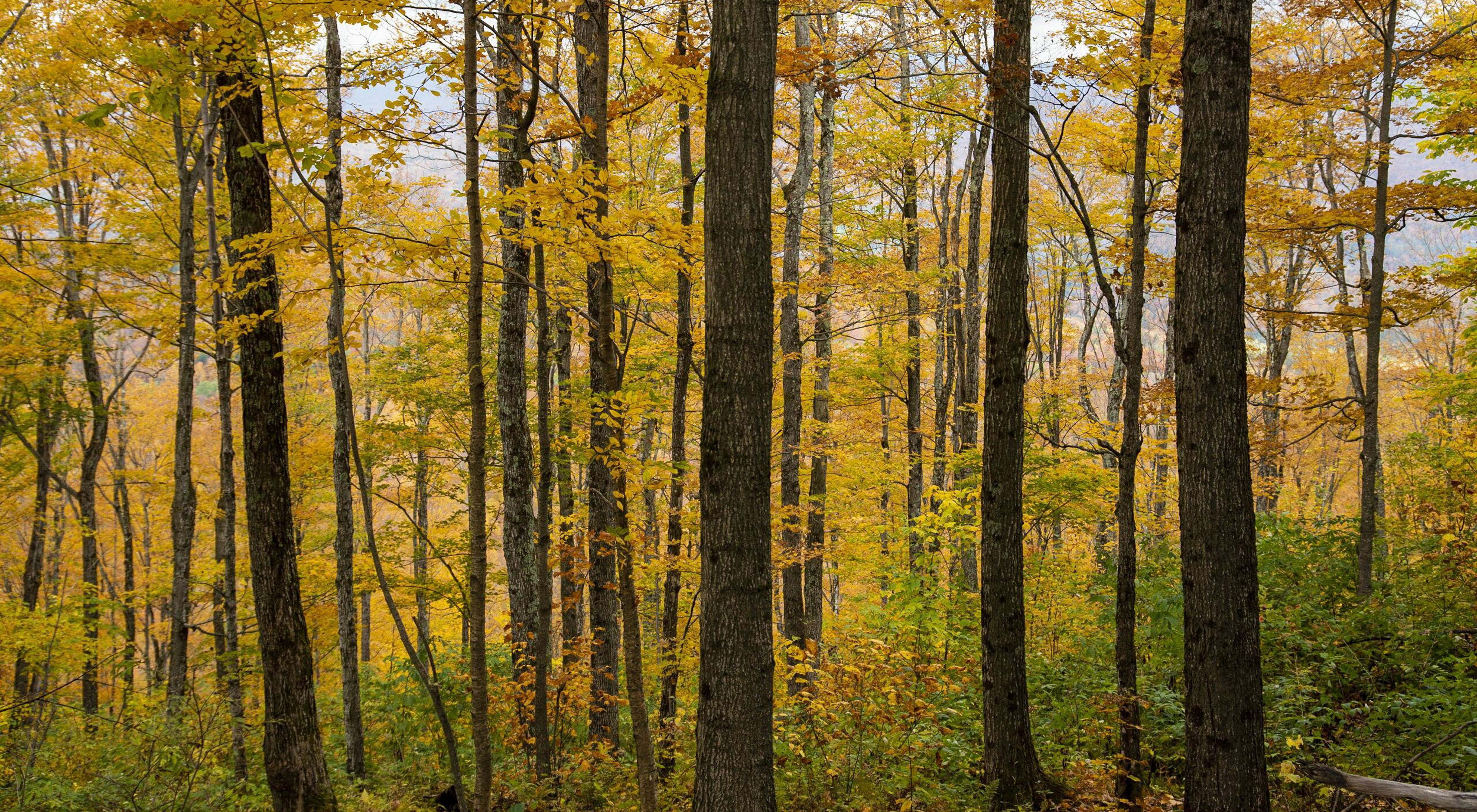 A forest view of trees changing to gold in the fall