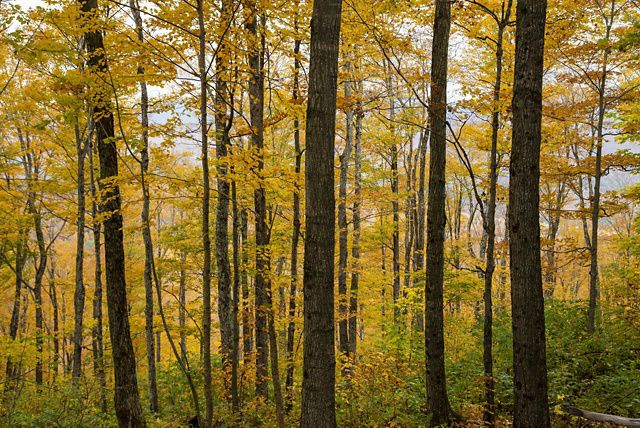 Photo of golden autumn leaves in a Vermont forest.