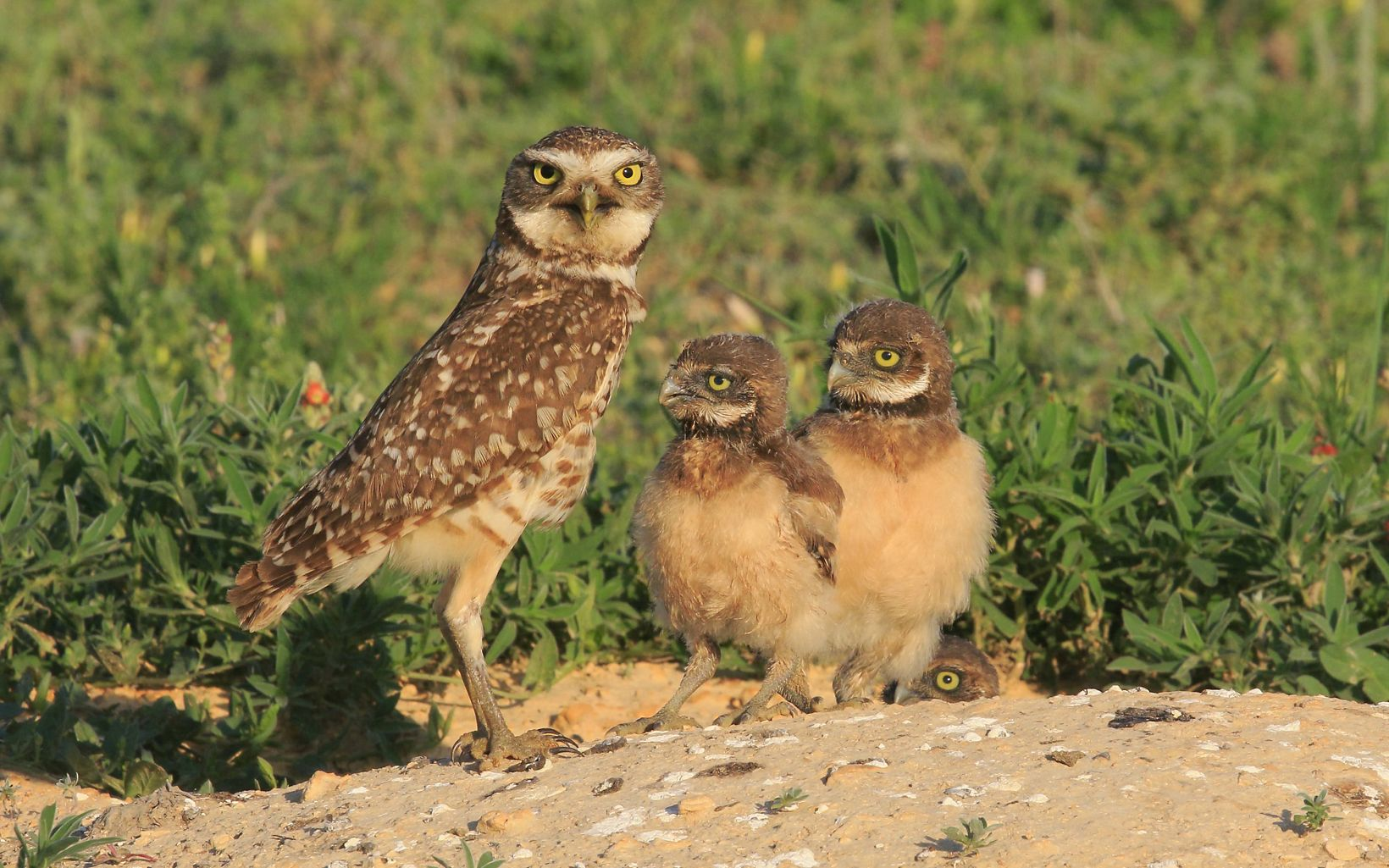 Adult brown speckled owl stands at burrow with three chicks.
