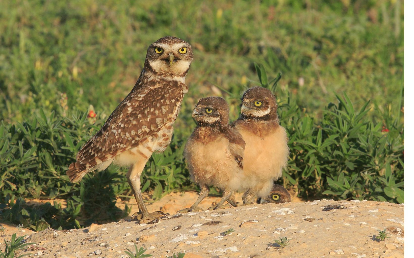 a skinny owl with two chicks