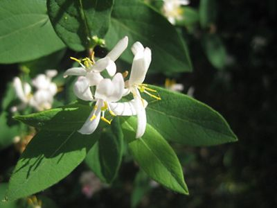 A delicate flower with long white petals and yellow pis