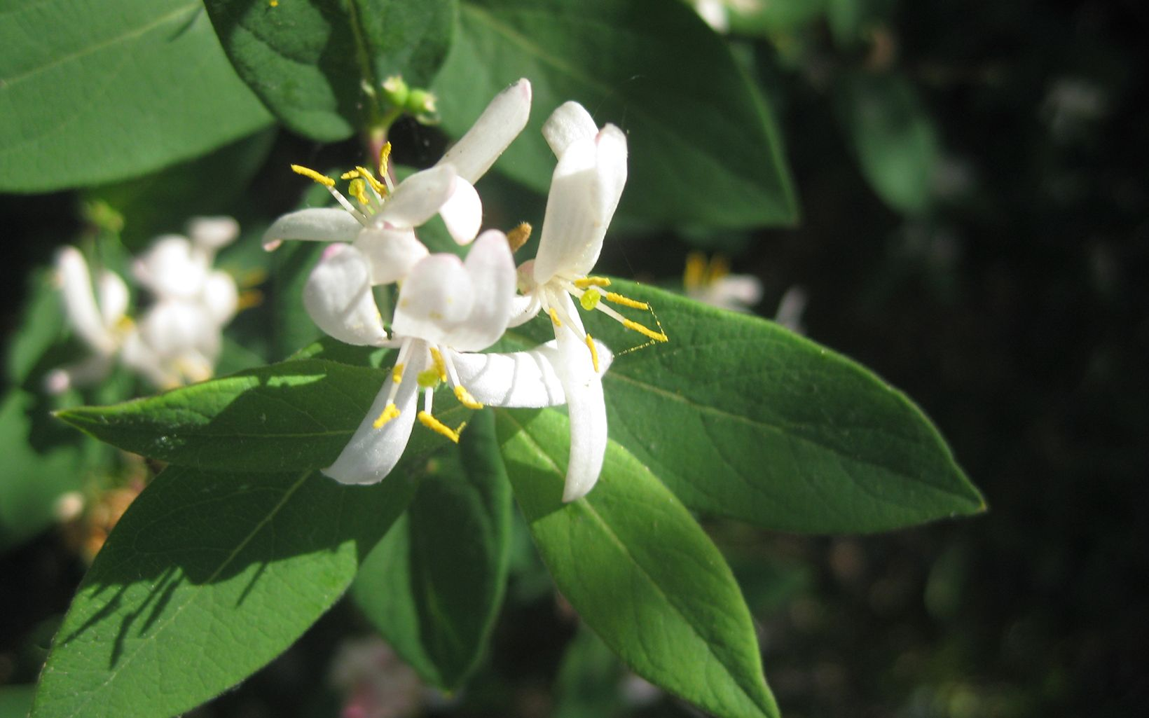 Invasive Bush honeysuckle native to northern China, Korea and parts of Japan and was introduced to the U.S. in 1897.