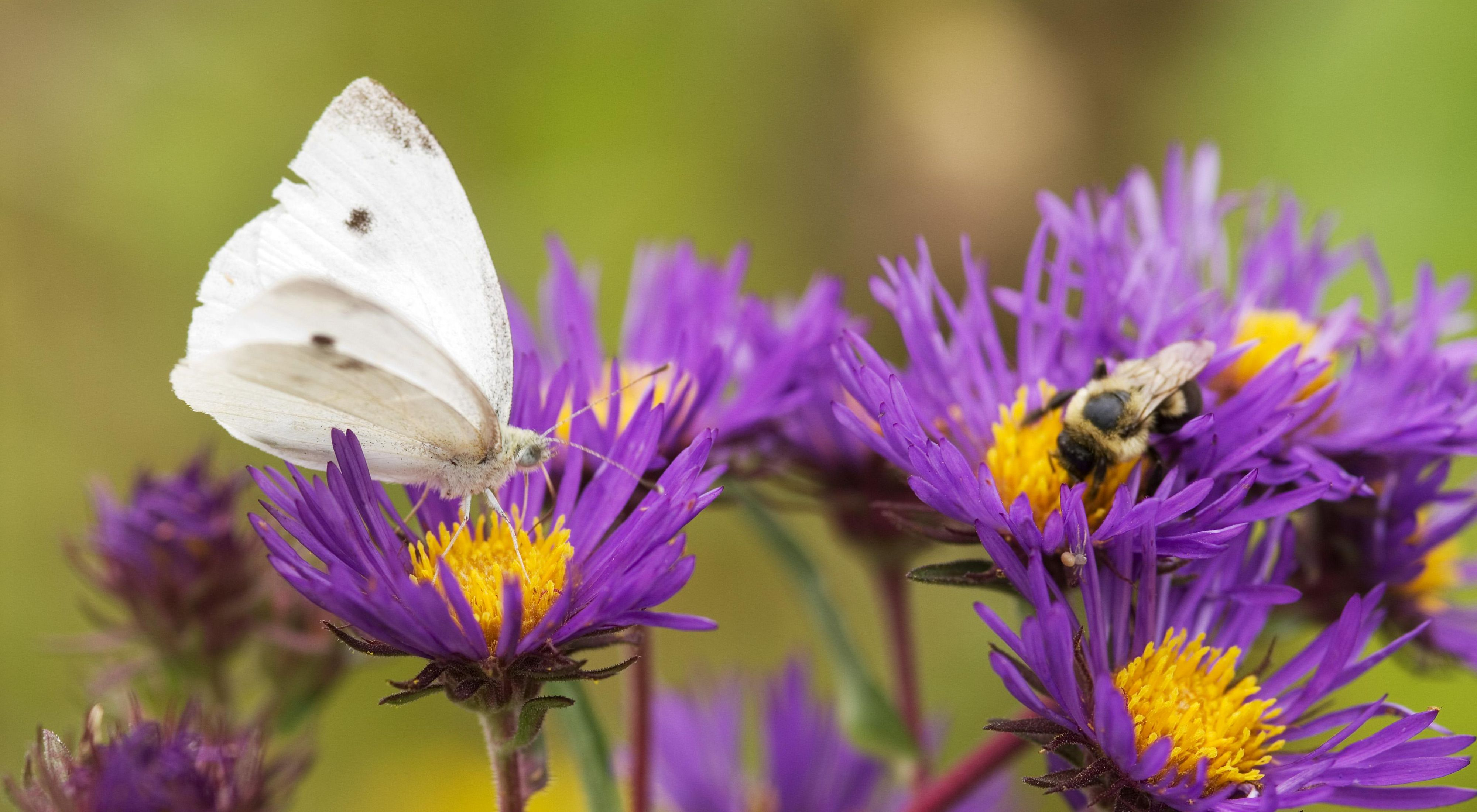 A white butterfly and a bumblebee on purple flowers.