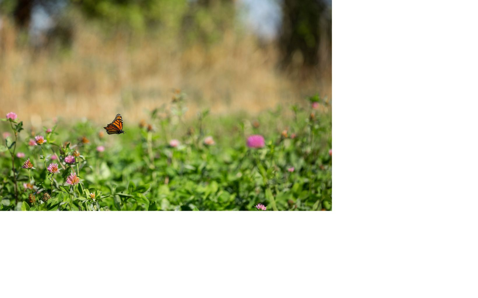 A monarch butterfly visiting cover crops on a farm in Michigan.
