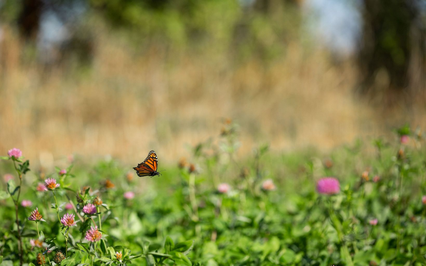 An orange and black butterfly flies between green plants with puffy pink flowers.