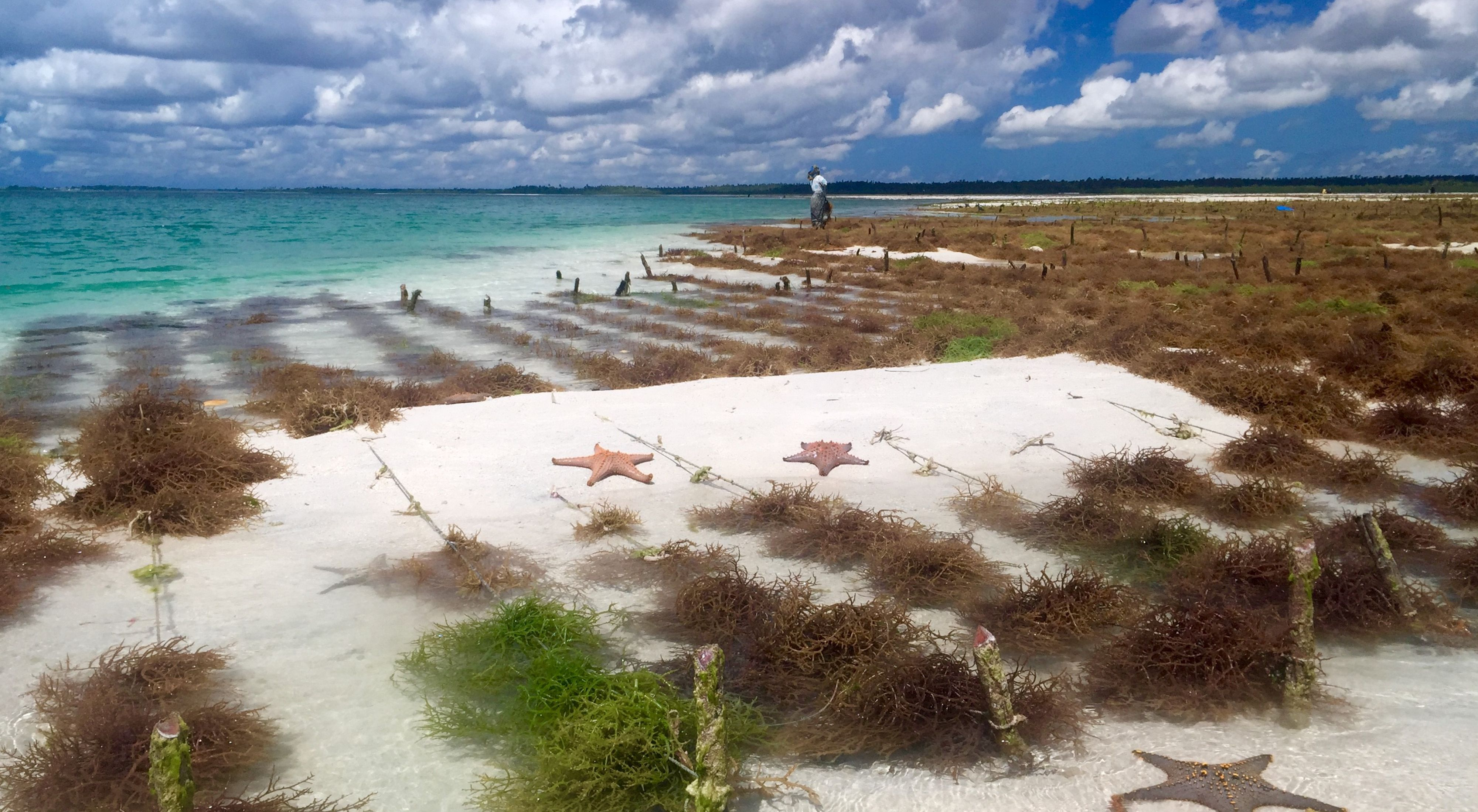 Spinosum farm and neighbouring sea stars exposed during low tide in Mjini Kiuyu – North Pemba