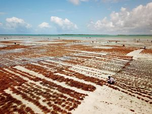 a wide view of red seaweed growing in shallow water