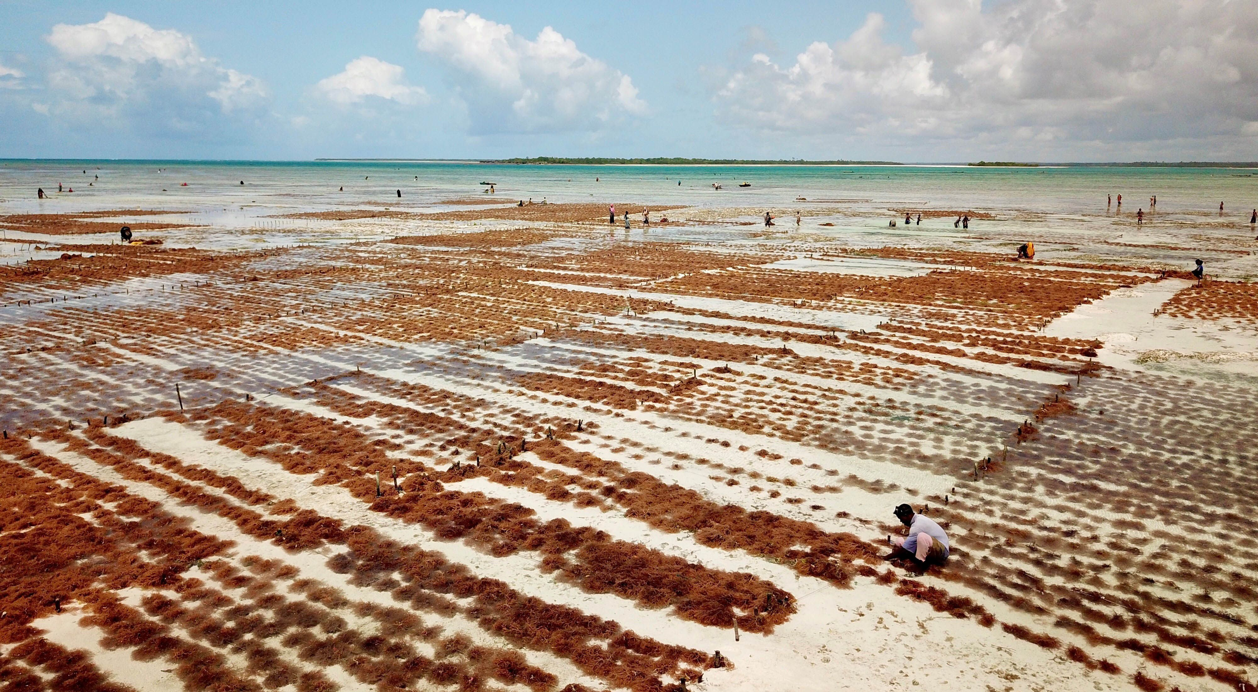a wide view of rows of red seaweed growing in shallow water, with people tending to the rows