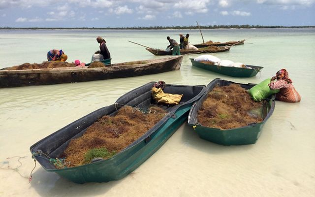 boats of seaweed in shallow water, with people tending to them