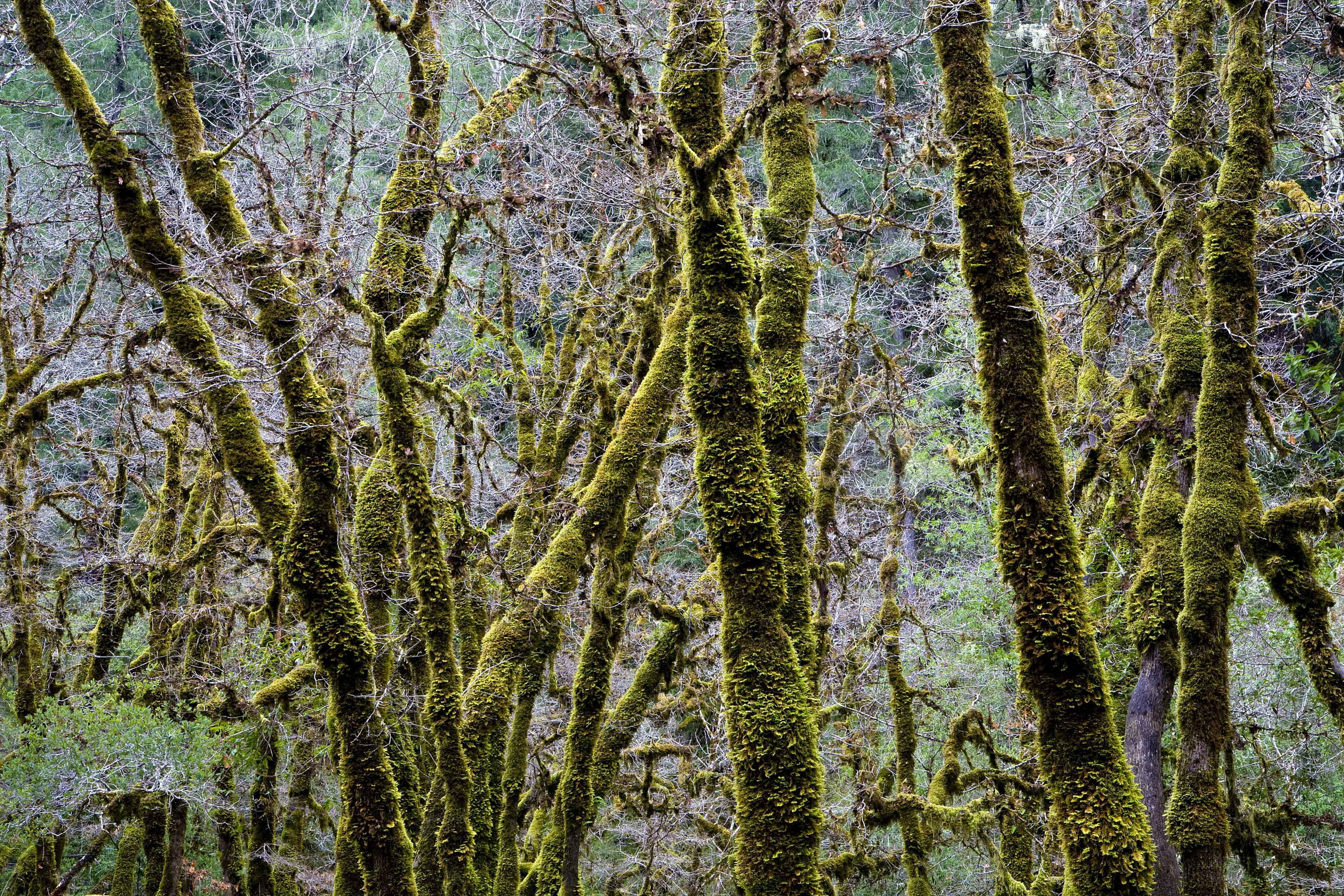 Moss covered branches with douglas fir trees