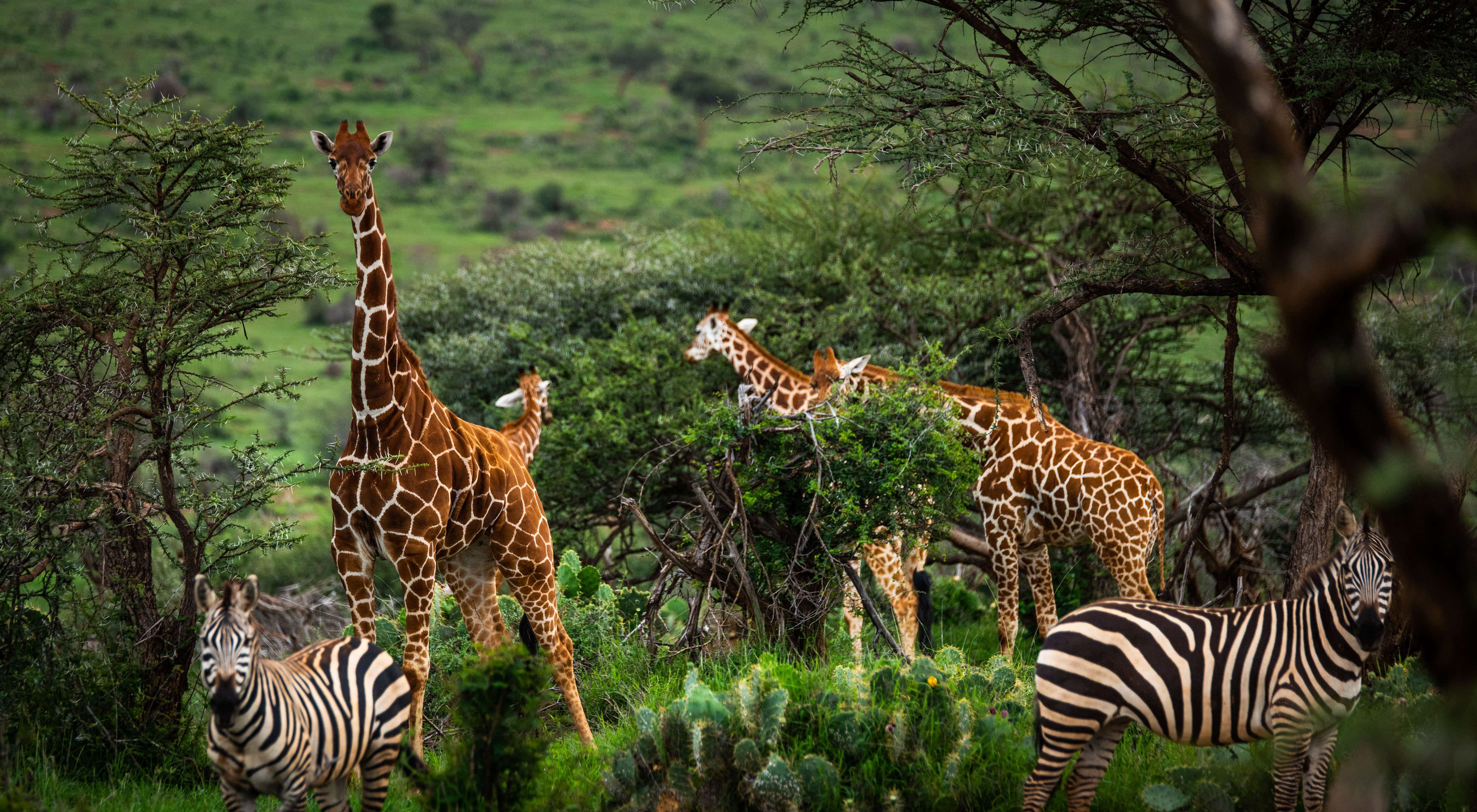 a group of zebras and giraffes graze in a lush green landscape