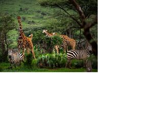 a group of zebras and giraffes grazing