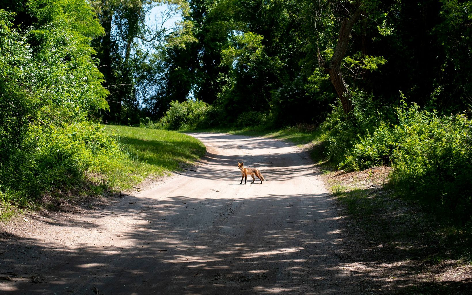 A small, brown and black fox stands in the sun in the middle of a gravel road.