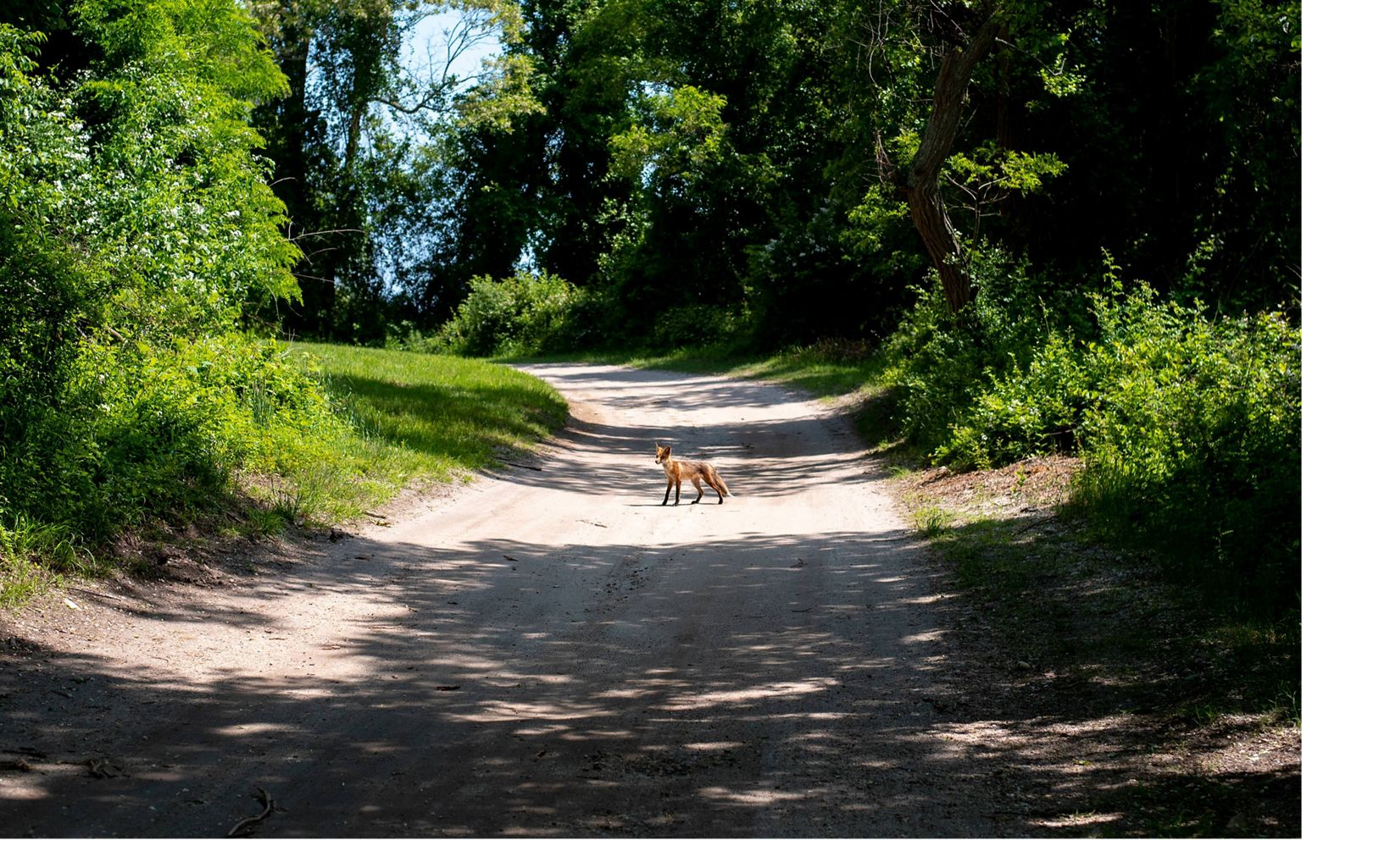 Young fox explores the path
