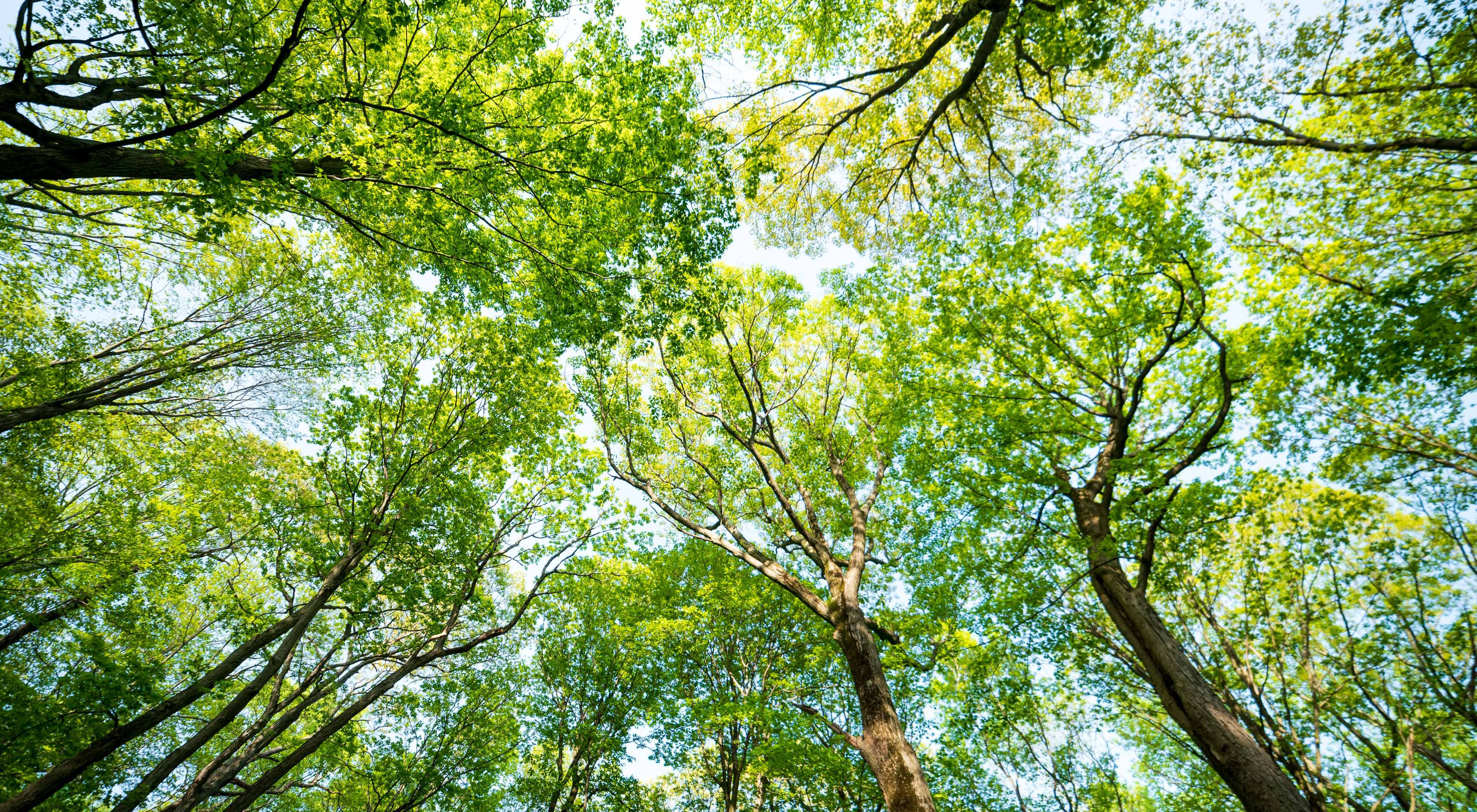 Looking up to a canopy of green, densely populated trees.