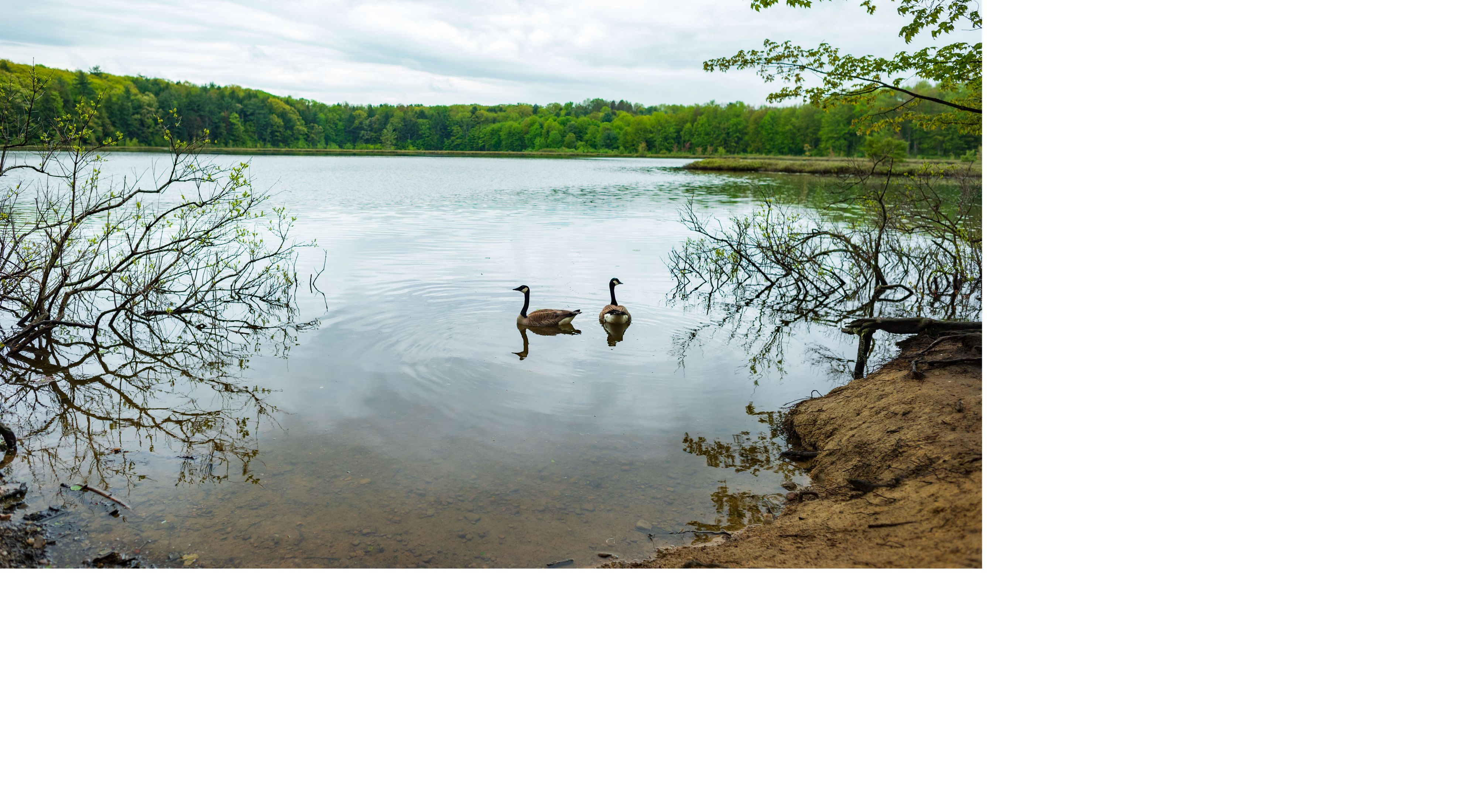 geese on a calm day at Moss Lake