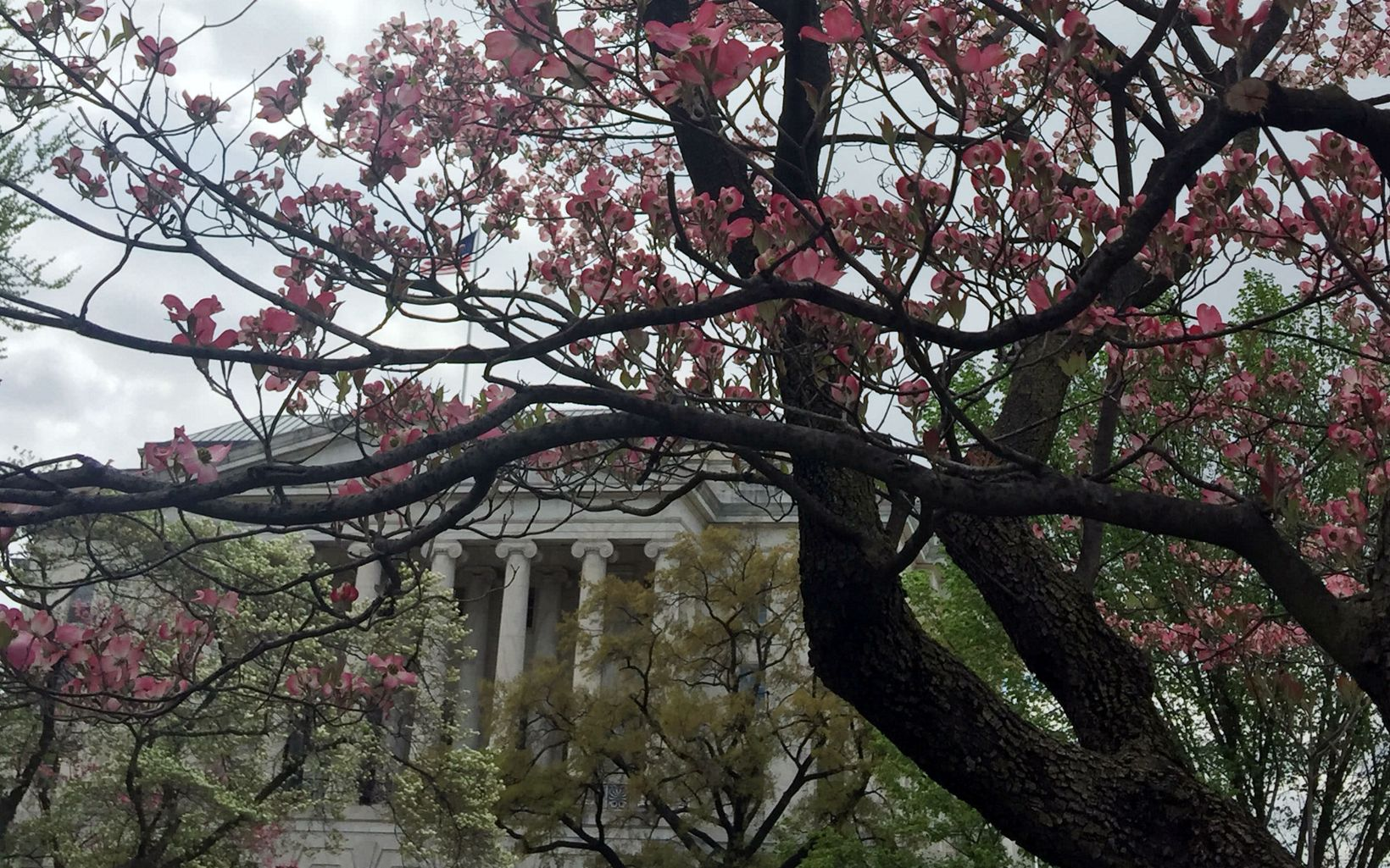 A dogwood in bloom during a guided hike of the US Capitol grounds during the 2018 City Nature Challenge.